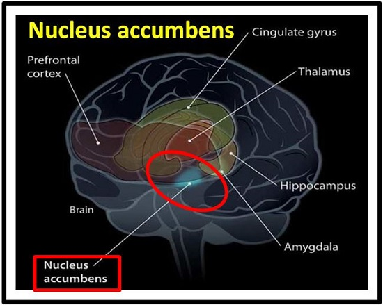 Nucleus accumbens (Amygdala)